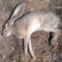 savage-bmag-17-winchester-super-magnum-hunt-report-5