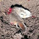 NE-California-Ground-Squirrel-Hunt-Report-17WSM-15