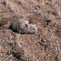 NE-California-Ground-Squirrel-Hunt-Report-17WSM-3