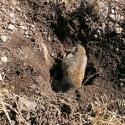 NE-California-Ground-Squirrel-Hunt-Report-17WSM-4
