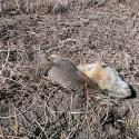 NE-California-Ground-Squirrel-Hunt-Report-17WSM-6