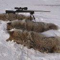 A few prime winter Coyotes