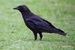 Crow – Corvus brachyrhynchos