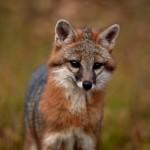 Gray Fox Front