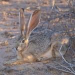 Jack Rabbit Resting