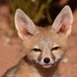 Kit (Swift) Fox (Vulpes macrotis)