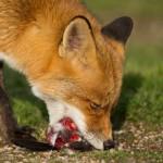 Red Fox Eating Prey