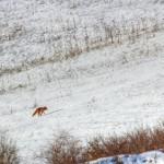 Red Fox on Snowy Field