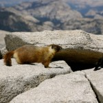 Yellow-Belly-Marmot-Rock-Chuck