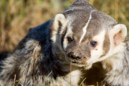 Badger – Taxidea taxus