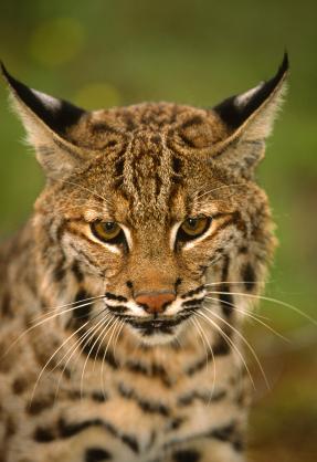 Bobcat – Lynx rufus