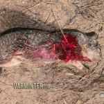 Savage B.MAG in 17WSMGround Squirrel