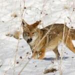 Successful Coyote Hunt in Snow