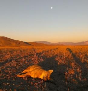 Successful Open Field Coyote Hunt