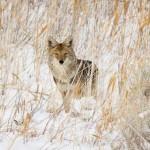 Snow-Coyote