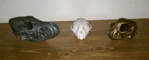 Coyote and Bobcat Skulls