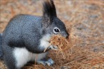 Abert's Tree Squirrel