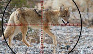 Predator Hunting – The Basics