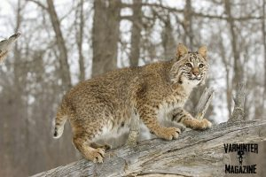 Bobcat on the Hunt