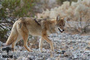 Coyote Sneaking In Downwind