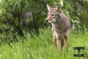 Coyote on Alert